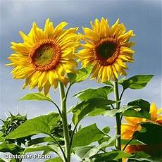Jual Bibit Bunga Matahari Sunflower Mammoth Grey Stripe