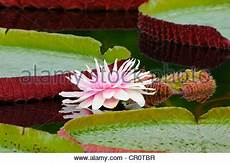amazonica water pads in the