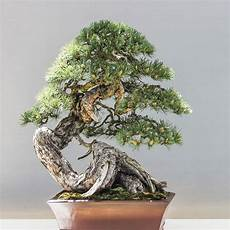 mini baumpflege bonsai aus waldb 228 umen erziehen