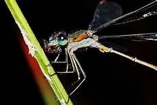 Wie Hoch Können Mücken Fliegen - gemeine binsenjungfer lestes sponsa www natur in nrw de