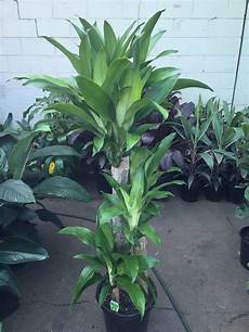 Dracaena Fragrans Massangeana Happy Plant Green