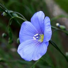 fiore flowers fleur de flax flower linum perenne olibac flickr