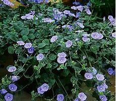 blaue mauritius sommerblumen pflanzen bepflanzung