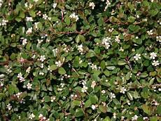 immer grüner strauch teppichmispel kriechmispel radicans cotoneaster