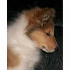 timber creek puppies for sale timber creek collies collie breeder in durand michigan