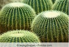echinocactus grusonii schwiegermutterstuhl pflege des