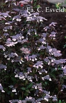 afbeeldingen en beschrijving hydrangea serrata var