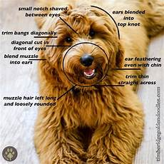 goldendoodle haircuts goldendoodle grooming timberidge face clips timberidge goldendoodles teddy bear goldendoodle labradoodle grooming
