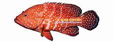 Ikan Eksport Kerapu Merah Bintik Tobakoe