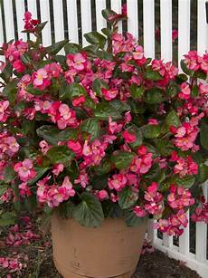 begonie in vaso santa sunset begonia the green thumb 2 0