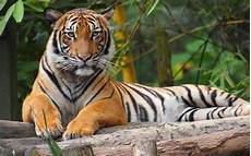 Sedih Spesis Harimau Malaya Kini Hanya Tinggal 23 Ekor