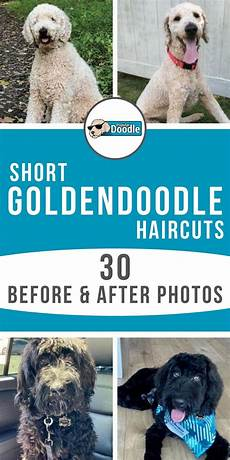 semi short haircut on a goldendoodle goldendoodles short goldendoodle haircuts are becoming increasingly popular and for good reasons they re