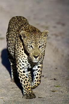jaguar ou leopard spot the difference jaguars vs leopards oncafari