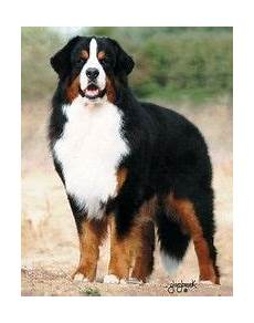 bernese mt best dogs beautiful dogs mountain