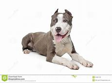 American Stafford With Cropped Ears Stock Photo   Image of
