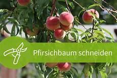 pfirsichbaum schneiden notwendiger schnitt f 252 r die