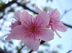 fior di ciliegio il giardino sfumato omaggio al giappone