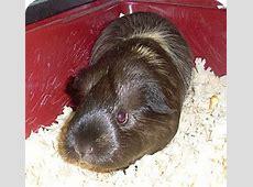 ANGEL   Adopted   West Palm Beach, FL   Guinea Pig