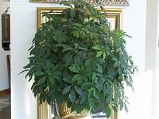 zimmerpflanzen groß pflegeleicht beginner gardening how do you prune a schefflera