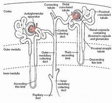 Kelompok 1 Kelas 2d Anatomi Fisiologi Sistem Perkemihan