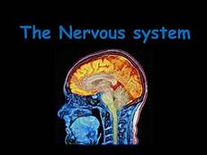 the nervous system by katrules2411 teaching resources