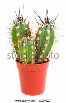 Der Kleine Grüne Kaktus - mein kleiner gr 252 ner kaktus stockfoto bild 278079435 alamy