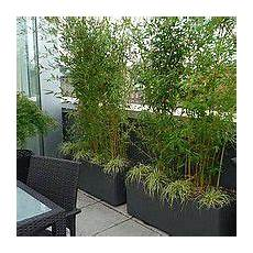 Le Bambou Fargesia Convient En Bac Sur Une Terrasse Et