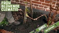 fr 252 h bl 252 hende clematis pflanzen der g 228 rtner