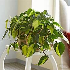 philodendron brasil grow care tips badezimmerpflanzen