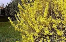 ambrosia blühend lila dergruenedaumen