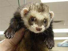 17 best images about ferrets