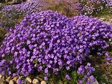 piante fiorite perenni piante perenni l aubretia cruciferae adatta per giardini
