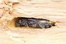 Capricorne Insecte Prix Du Traitement De Charpente