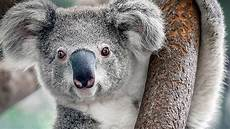 bild de le koala n est pas si mignon zapping sauvage