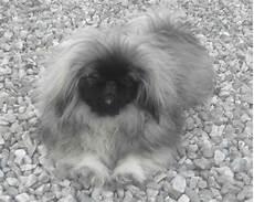 candela chion chien elevage du jardin de vatsana eleveur de chiens