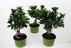 Der Ficus Ginseng Tipps Zur Pflege Diesem