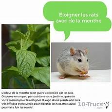 La Menthe Contre Les Rats Et Les Souris Rats Anti Rat