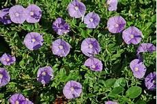 Balkonpflanzen Blaue Mautitius Pflegetipps Und Mehr