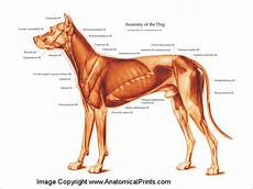 Dog Muscle Chart Canine Muscle Chart Clinical Charts And Supplies