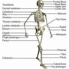 human skeletal system diagram labeled diagram of human organs picture of organs human anatomy