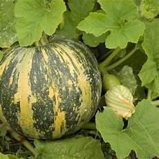 quand cueillir les melons courge godiva ab ferme de sainte marthe