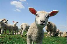 learn about sheep and how they are farmed compassion in
