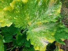 Gurke Gelbe Blätter - wir verstehen warum die bl 228 tter in den zimmerpflanzen