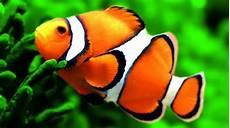 Daftar Harga Ikan Badut Hari Ini Juni 2020 Terbaru