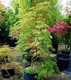 plantes oasis erable du japon dissectum shinonome