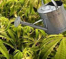pflege hanf cannabis in der bl 252 tephase irierebel