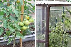 Tomaten S 228 En Wann Ist Der Ideale Zeitpunkt Tomaten De