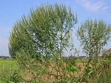 ambrosia blühend lila 220 bersicht 252 ber die h 228 ufigsten invasiven pflanzen