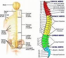 Struktur Tulang Belakang Manusia Pengertian Dan