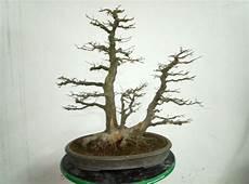 bonsai richtig pflegen bonsai lieben bonsai kaufen richtig pflegen